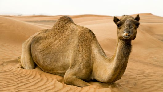 The eye of camels can survive from blowing sands for their three eyelids