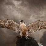 Peregrine Falcon (Falco peregrinus) 2011, #261