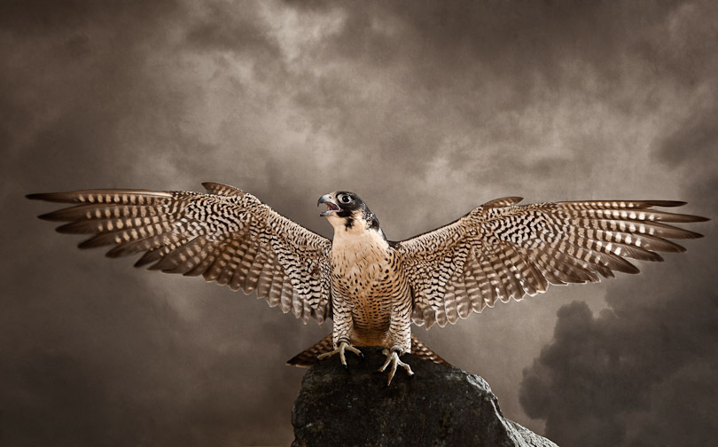 The peregrine is the fastest bird.