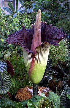 amorphophallus-titanium-beautiful-image