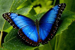 butterfly-blue-coloured