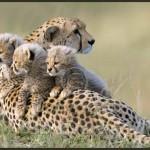 e26-itchy-cheetah-cubs-8
