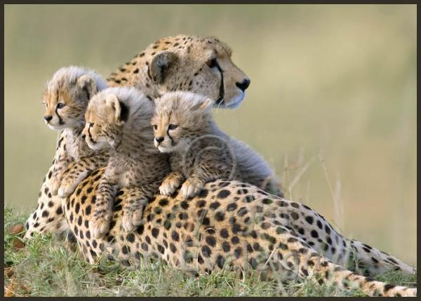 e26-itchy-cheetah-cubs-8