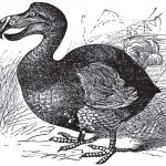 dodo-bird-extinct-skeleton-auction