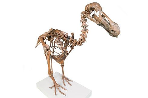 dodo-bird-extinct-skeleton-auction-5