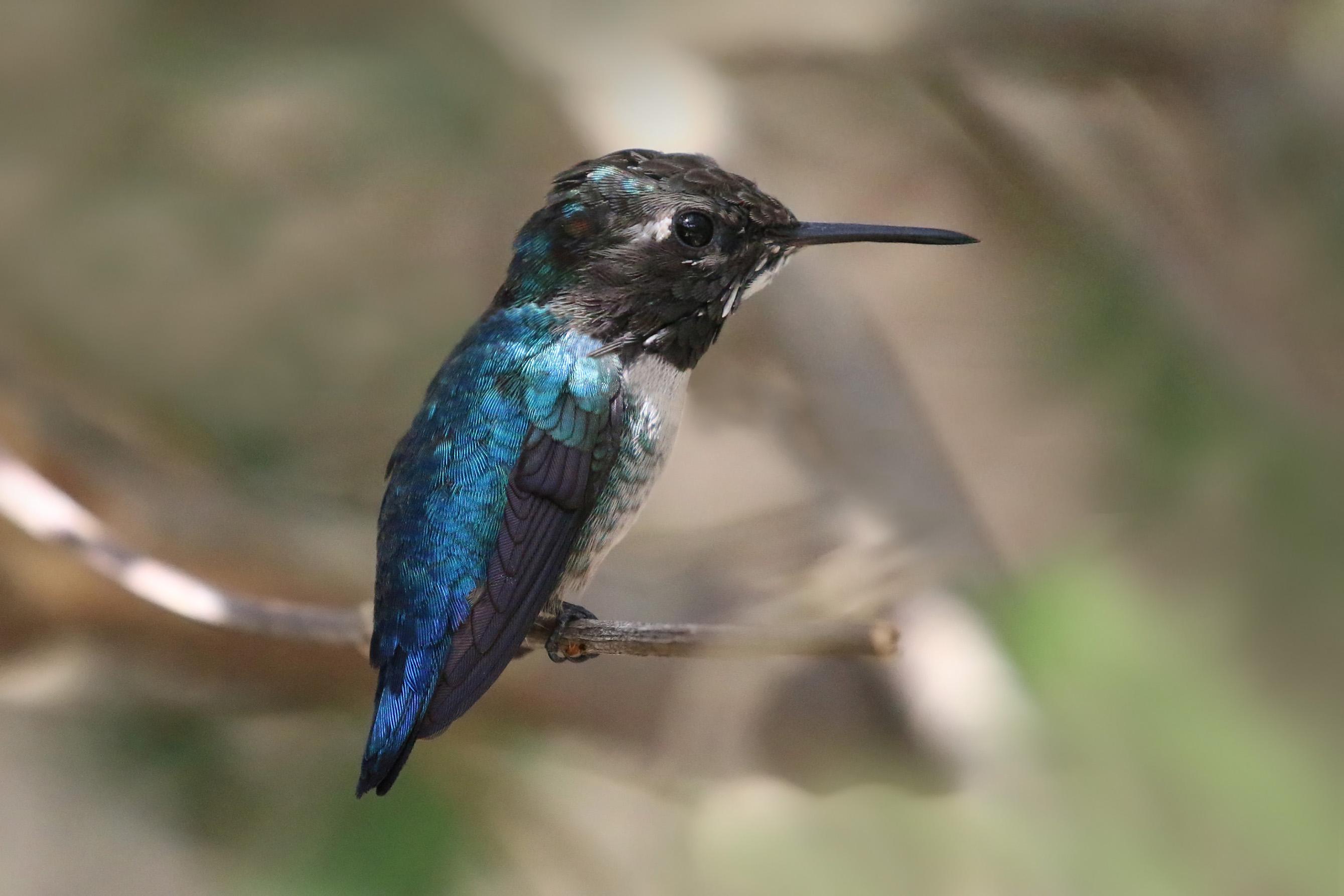 bee-hummingbird-3
