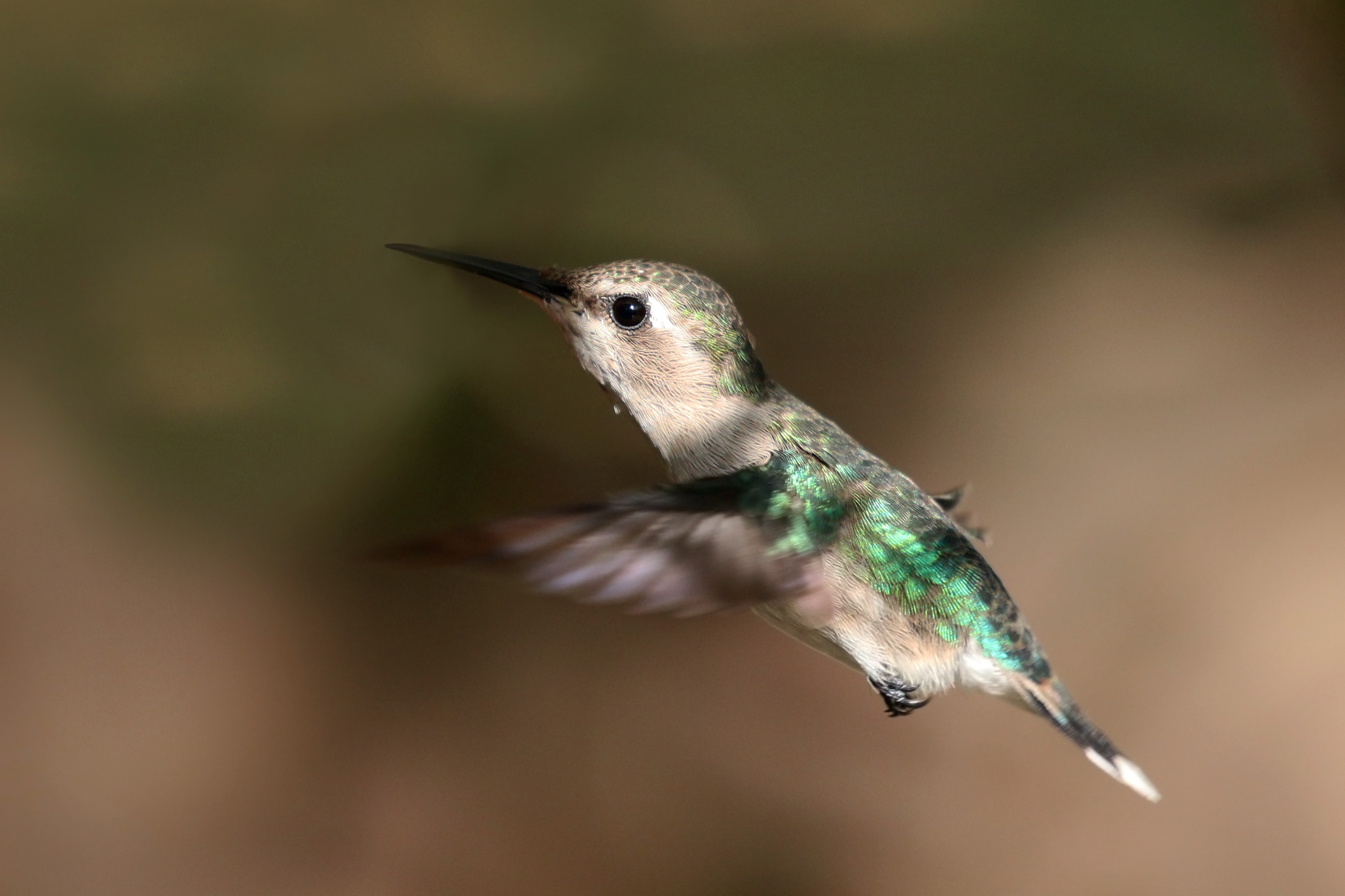 bee-hummingbird-4