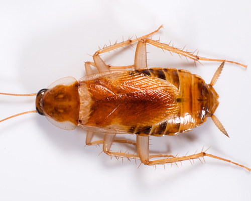 Brown-branded-cockroach