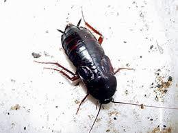 Oriental-cockroach-2