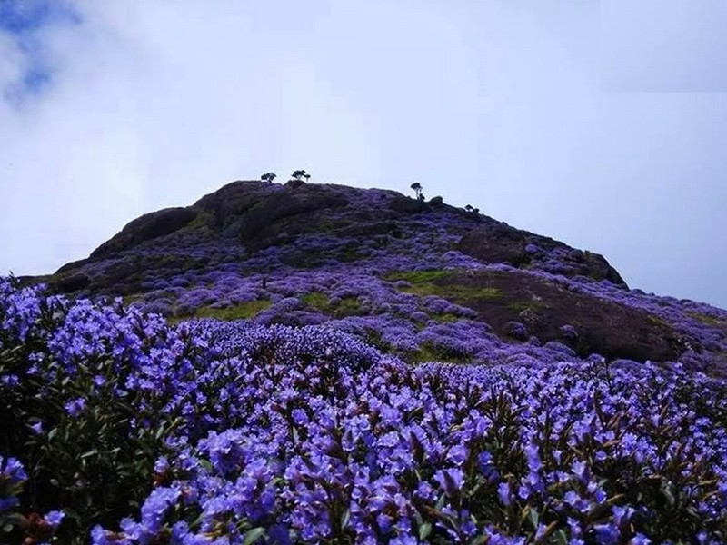 neelakurinji-flowers-munnar-bloom-3