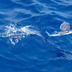 Flying Fish-1