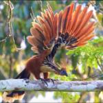 Hoatzin – Weird and Wonderful Tropical Reptile Bird