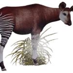 Rare seen hybrid animal – OKAPI