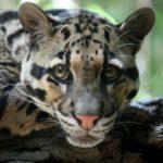 Megla Tiger (Clouded Leopard)