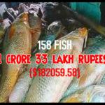 Ghol Fish or Sea Gold Fish